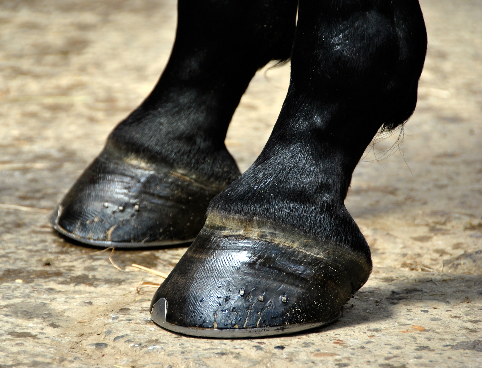 related images horse hoof wikipedia horse hoof supplements smartpak ...