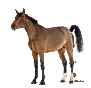 Male Belgian Warmblood, BWP, 3 years old, defecating against white background