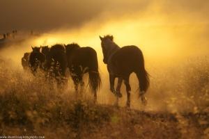 Wild Horses Moving