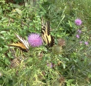 Butterfyl