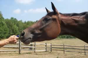 Using Natural Supplements For The Equine Immune System